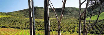 Kloovenburg Olive Orchards