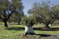 In this mature Vesuvio grove, trees are cut down to generate new growth. White paint protects old trunks against sunburn.
