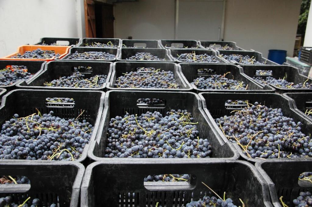 Grapes waiting at the Cellar
