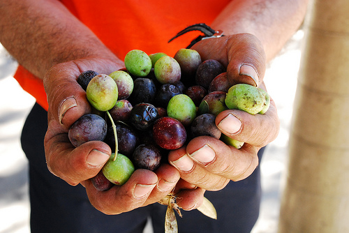 A handful of olives about to be pressed