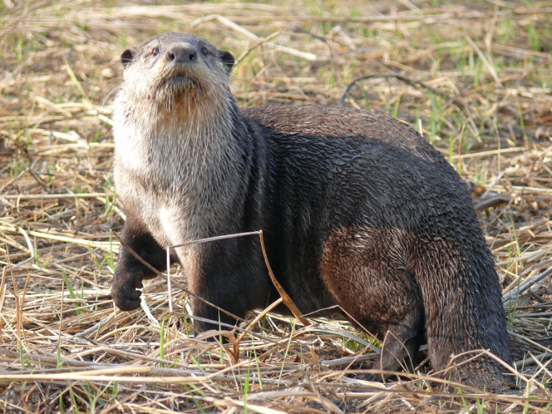The Cape Clawless Otter Aonyx capensis