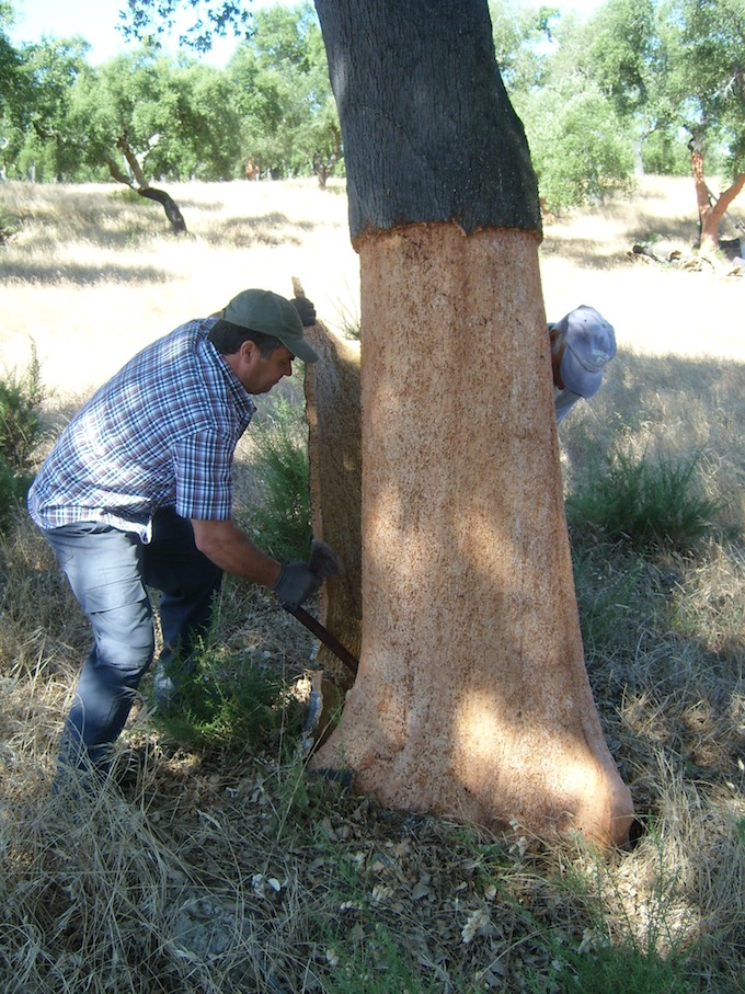 Bark being harvested from a Cork Oak