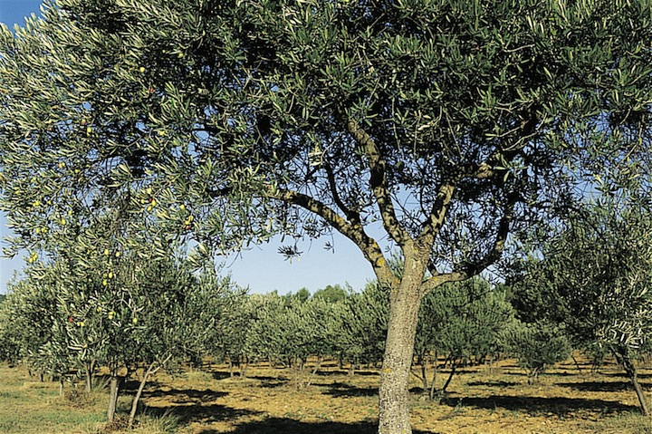 An Olive tree in full fruit