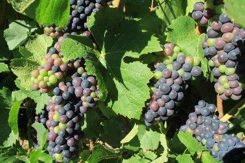 Pinot Noir at Veraison veraison, the time when grapes start to colour