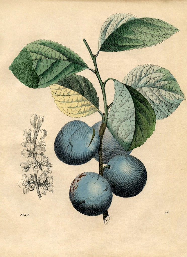 An old botanical illustration of plums