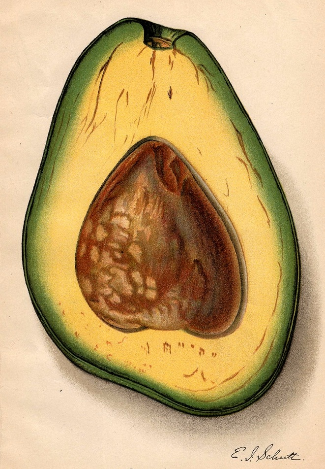 Old Botanical painting of an Avocado Pear