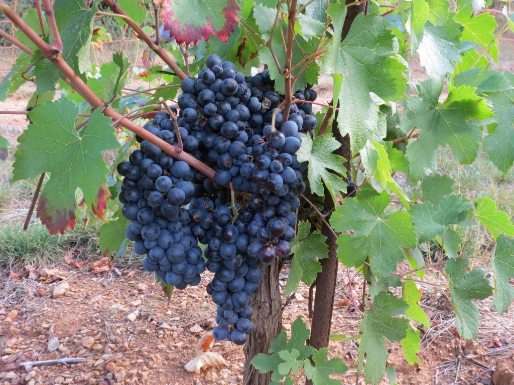 Cinsaut on the vine large loosely packed bunches