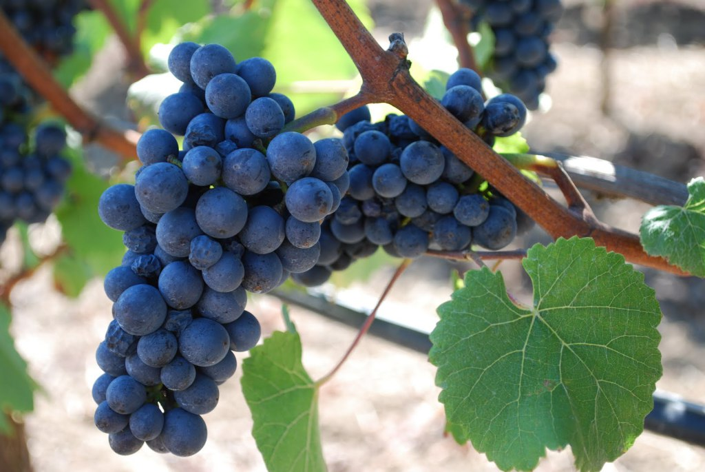 Pinot Noir on the vine