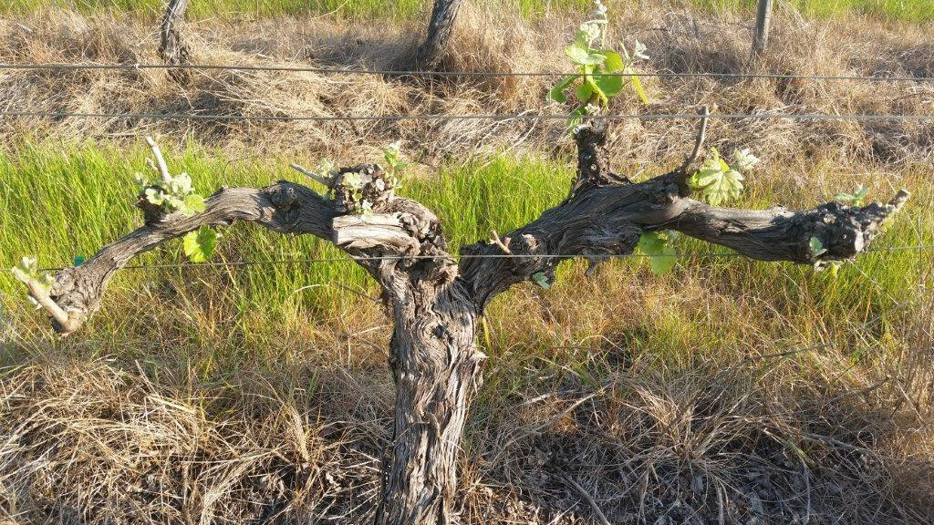 Gnarly old vines on the Estate still producing quality grapes