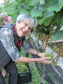 Kitty Petousis, The Vineyard Hotel Owner picking grapes in the hotel's second harvest. The wine is to be made by Norma Ratcliffe of Warwick Wine Estate in Stellenbosch.