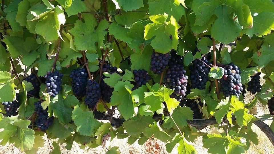 Pinot Noir Nicky Wallace