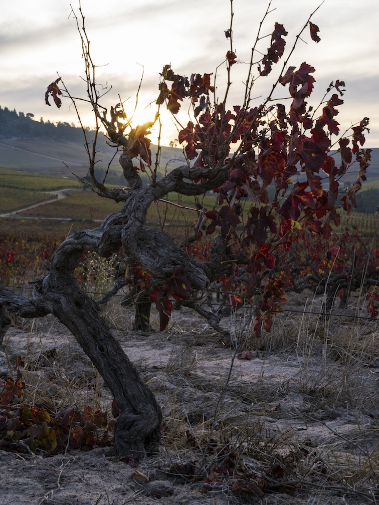 Old Vine in The Top of the Hill Vineyard