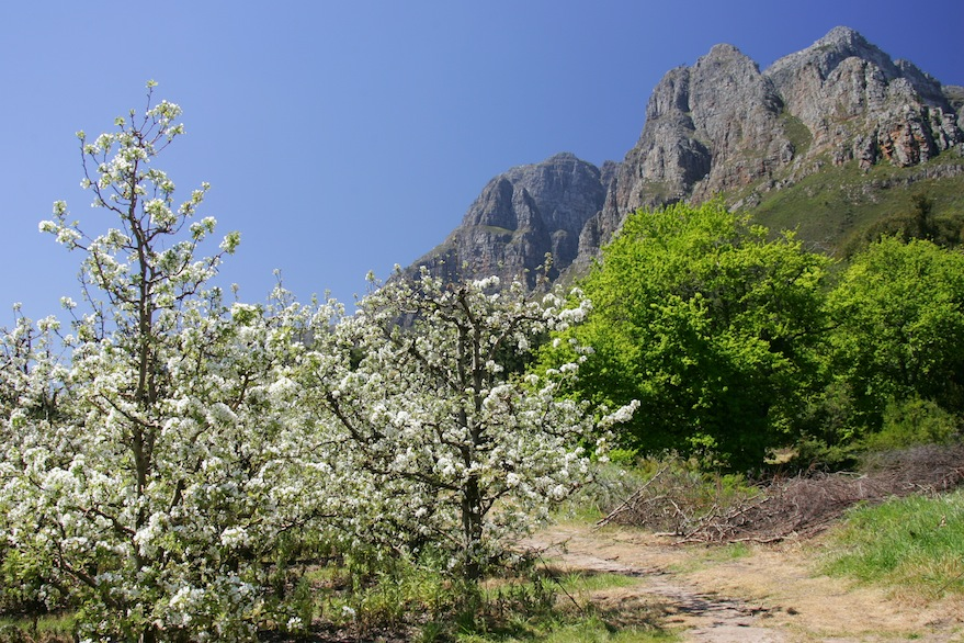The Boschendal Pear Orchards in blossom