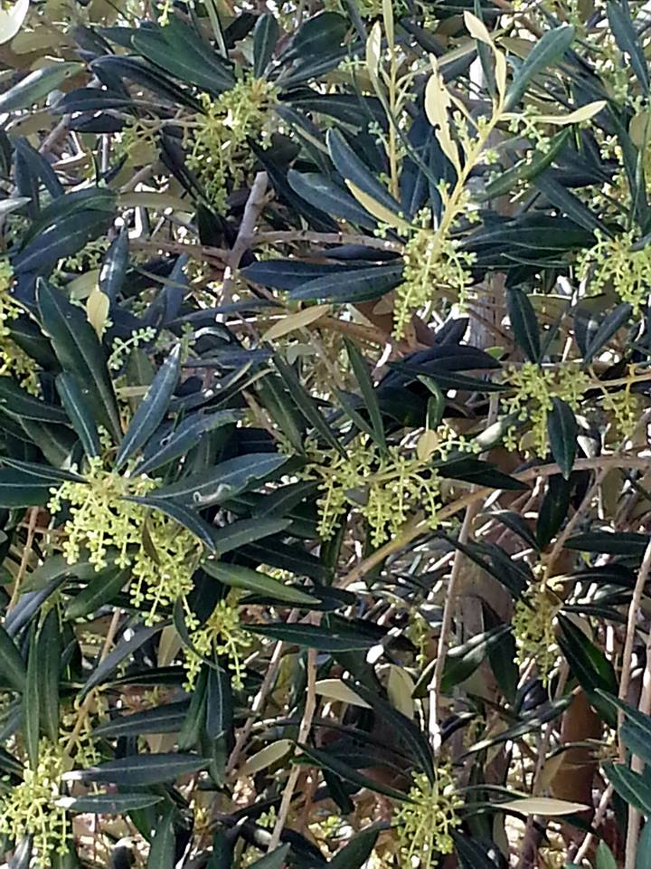 Morgenster Olives in flower - starting their journey to glory