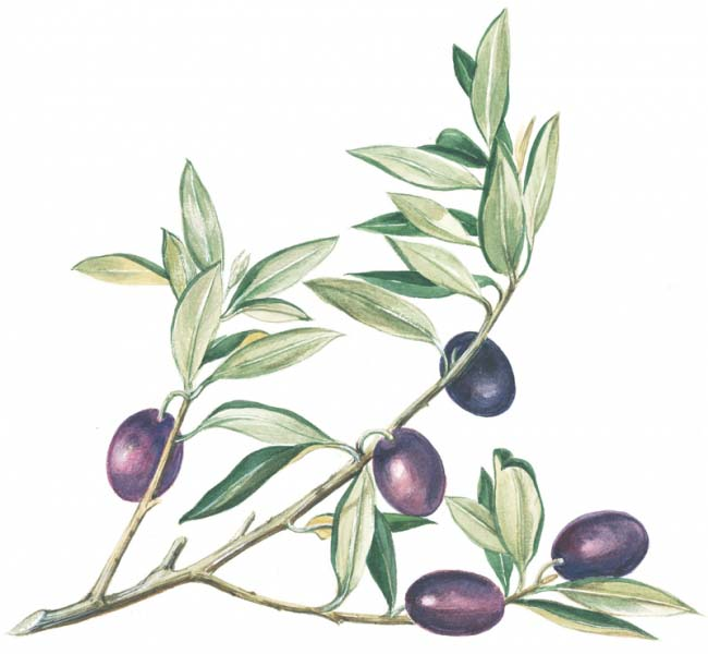 Olives Patricia Fraser Olive Branch