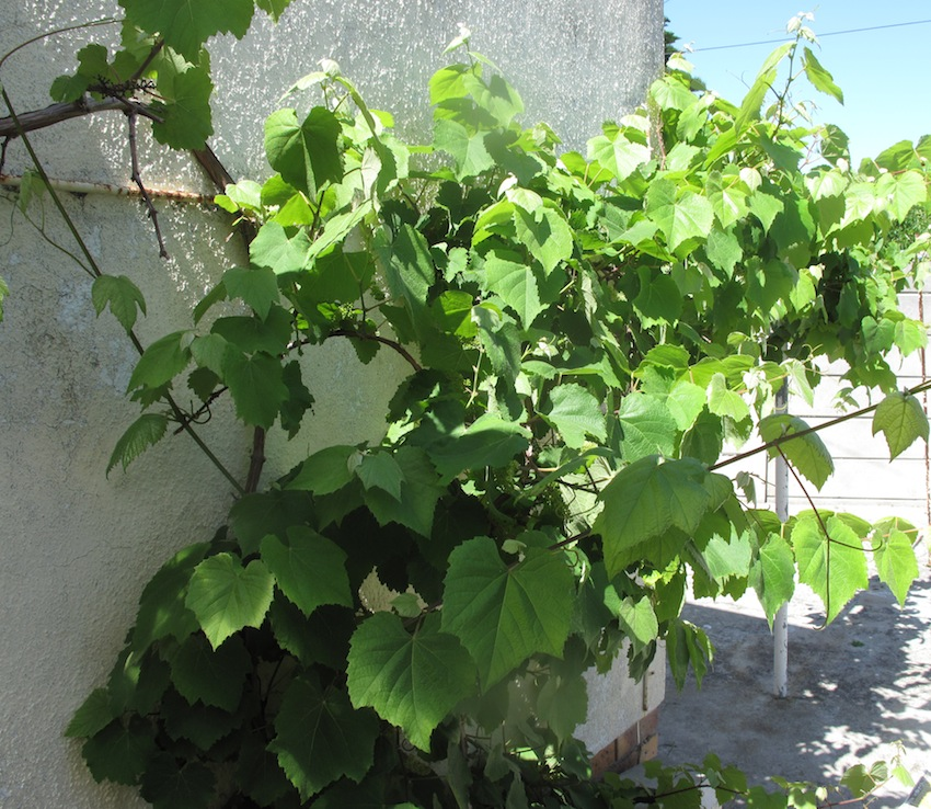 The vine from which I picked the leaves