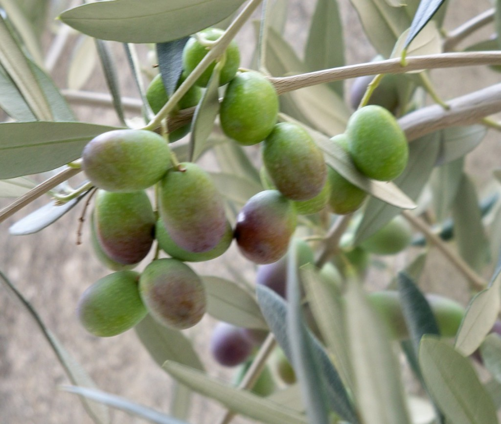Olives at Véraison