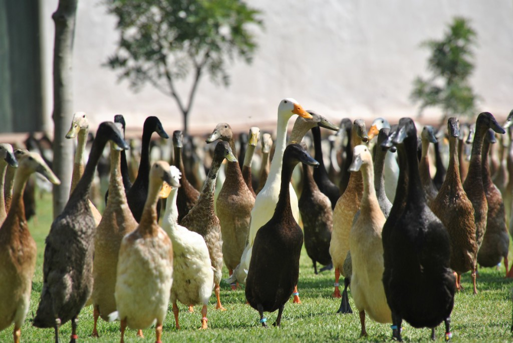 The Indian Runner Duck Parade