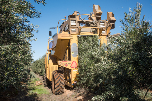 Automatic Harvester for oil olives 2
