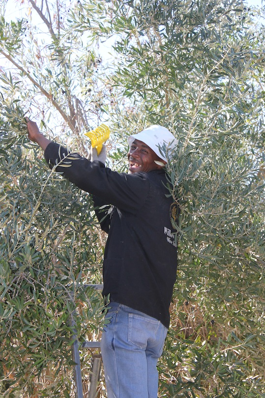Hand harvesting table olives with yellow rakes 2