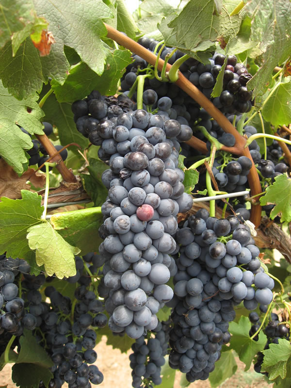 Shiraz grapes on the vine