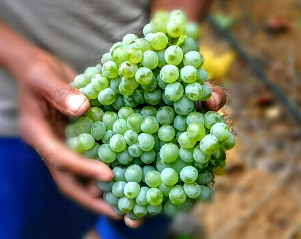 sauvignon-blanc-in-harvesters-hands